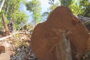 Phát hiện thêm hàng trăm m3 gỗ bị cưa hạ ở Đắk Lắk