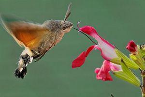 Lạ kỳ sinh vật '4 trong 1' giống cả chim, ong, bướm, sâu