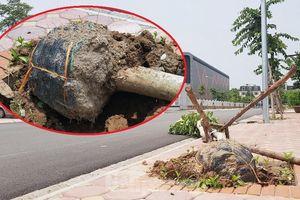 Xôn xao loạt cây xanh bật gốc lộ nguyên vỏ bọc rễ sau mưa dông ở Linh Đàm