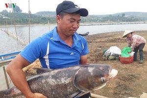 Kon Tum: Thu nhập 3 tỷ đồng/năm nhờ nuôi cá trên vùng đất ... cà phê
