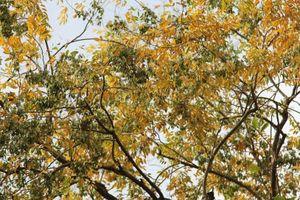 Hàng cây sưa quý ở Hà Nội bất ngờ rụng lá sau khi người dân từ chối bán