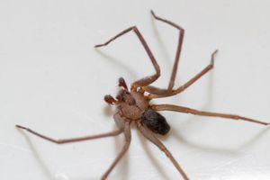 Suýt mất mạng vì nhện độc chui vào tai