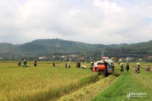 Nông dân Nghệ An khẩn trương thu hoạch lúa hè thu chạy bão số 4
