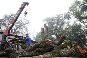 Cây gỗ sưa trăm tỷ ở Hà Nội sẽ được đấu giá