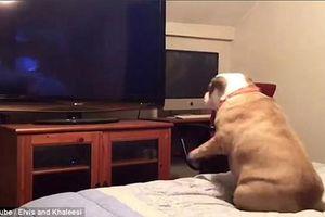 Phản ứng hài hước của chú chó bull khi xem phim kinh dị