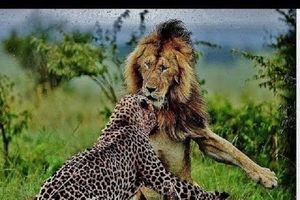Kinh hoàng hai con sư tử đực tấn công và ăn thịt báo