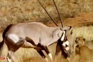 Tấn công linh dương sừng kiếm non, báo săn bị rượt chạy trối chết
