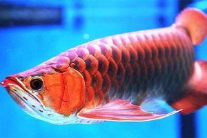Mãn nhãn tận mục những loài cá cảnh đẹp nhất