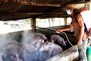 Địa phương cuối cùng cả nước công bố dịch tả lợn châu Phi