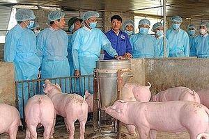 Hà Nội: Dịch tả lợn châu Phi tiếp tục phát sinh tại 39 hộ chăn nuôi