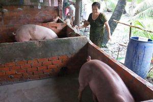 Nông dân Đồng bằng sông Cửu Long dè dặt tái đàn heo