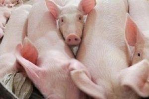 Giá thịt lợn sẽ tăng mạnh từ nay đến Tết Nguyên đán
