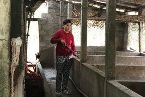 Ghi nhận tại 'điểm nóng' dịch tả lợn châu Phi ở Thừa Thiên - Huế