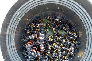 Trẻ em Gia Lai đổ xô bắt bọ 3 sọc cực độc bán giá gần 2 triệu đồng/kg