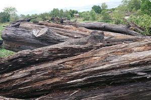 Hàng trăm m3 gỗ bị mục nát do chậm xử lý, trách nhiệm thuộc về ai?