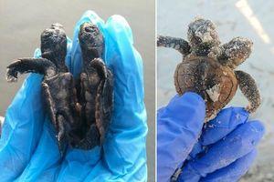Kinh ngạc rùa biển dính liền thân vẫn sống như thường