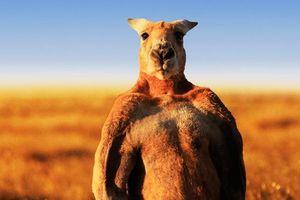 Nghịch lý kangaroo - biểu tượng quốc gia bị đề xuất cho lên bàn nhậu