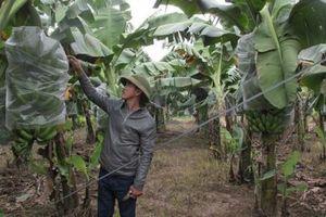 Khởi nghiệp nông nghiệp: Lão nông trồng chuối kiếm 10 tỷ/năm, sắm ôtô sang chảnh thăm vườn cho tiện