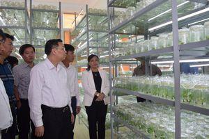 Phát triển mạnh các sản phẩm chiết xuất từ sâm Ngọc Linh
