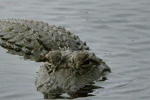 Cá sấu xuất hiện trên sông ở Hà Tĩnh