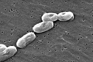 Sự thật kinh hoàng về loại vi khuẩn 'ăn thịt người' đang hoành hành trở lại