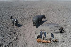 Xót xa với cảnh linh dương và hà mã nằm chờ chết vì hạn hán kéo dài ở Nam Phi