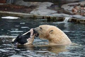 Sự thật đẫm máu phía sau ảnh gấu Bắc cực hôn bò sữa