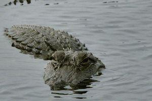 Cá sấu lớn bất ngờ xuất hiện trên sông tại Hà Tĩnh sau mưa lũ