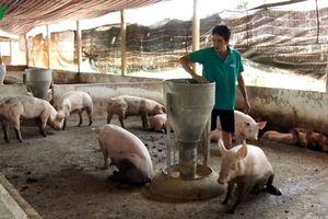Chuyển đổi mô hình chăn nuôi sau dịch tả lợn Châu phi