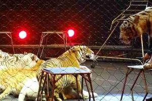 Khiếp sợ khi hổ sổng chuồng trong buổi biểu diễn xiếc