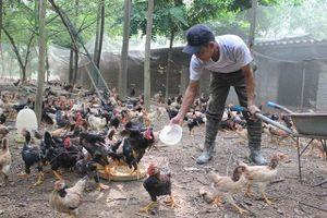 Cơ hội tái cơ cấu ngành chăn nuôi