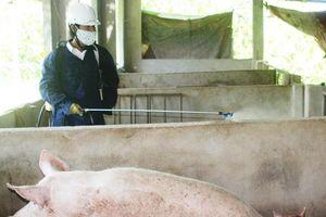 Ninh Thuận: Dịch tả lợn lây lan nhanh, buộc tiêu hủy gần 300 con heo