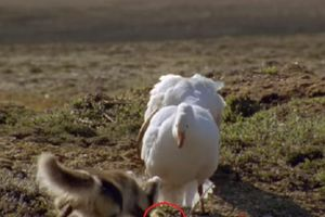 Cáo Bắc Cực 'ăn trộm' con non của ngỗng tuyết