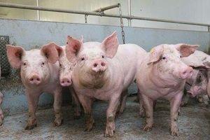 Giá heo (lợn) hơi hôm nay 13/9: Hai miền Bắc, Nam có ngừng giảm?