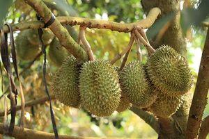 Không còn lo ngại bệnh nấm bồ hóng trên cây sầu riêng