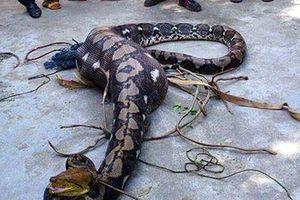 Kỳ đà 1,2 m sống sót thần kỳ sau khi bị trăn khủng nuốt chửng