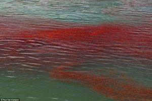 Kỳ lạ tôm hùm nhuộm đỏ mặt nước ở New Zealand