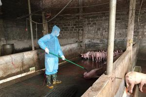Hà Nội: 37,6% số hộ chăn nuôi mắc dịch tả lợn châu Phi