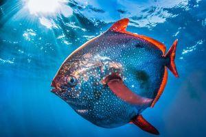Cận cảnh loài cá máu nóng duy nhất trên thế giới