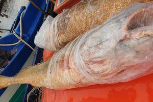 Ngư dân Cà Mau bắt được cặp cá đường 'khủng'