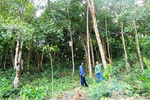 Hướng đi mới từ trồng rừng gỗ lớn