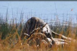 Sư tử 'đấu vật' với ngựa vằn