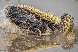 Trăn khổng lồ siết cá sấu caiman 'thừa sống thiếu chết'