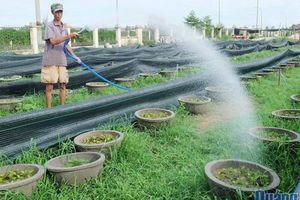 Quảng Ngãi: Hàng ngàn chậu hoa chuẩn bị Tết Nguyên đán 2020