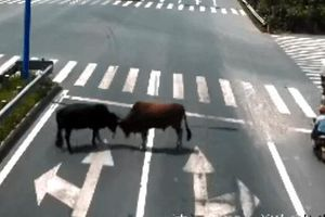 Cặp bò đực rủ nhau ra giao lộ 'đại chiến'