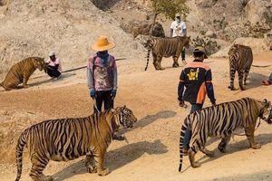 Hàng chục con hổ bị chết khi đưa khỏi ngôi chùa Thái Lan