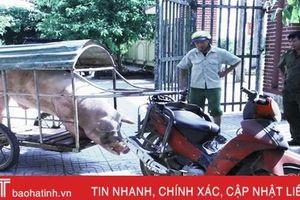 Mang lợn đực gần 3 tạ đi phối giống, qua vùng dịch Đức Thọ bị bắt, tiêu hủy