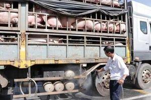 Chênh lệch giá, hơn 1.500 chuyến xe chở lợn từ Nam ra Bắc tiêu thụ