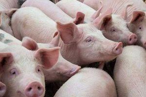 Giá heo (lợn) hơi hôm nay 19/9: Miền Nam có nơi tăng vọt?