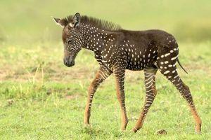 Phát hiện ngựa vằn có đốm hiếm thấy ở Kenya